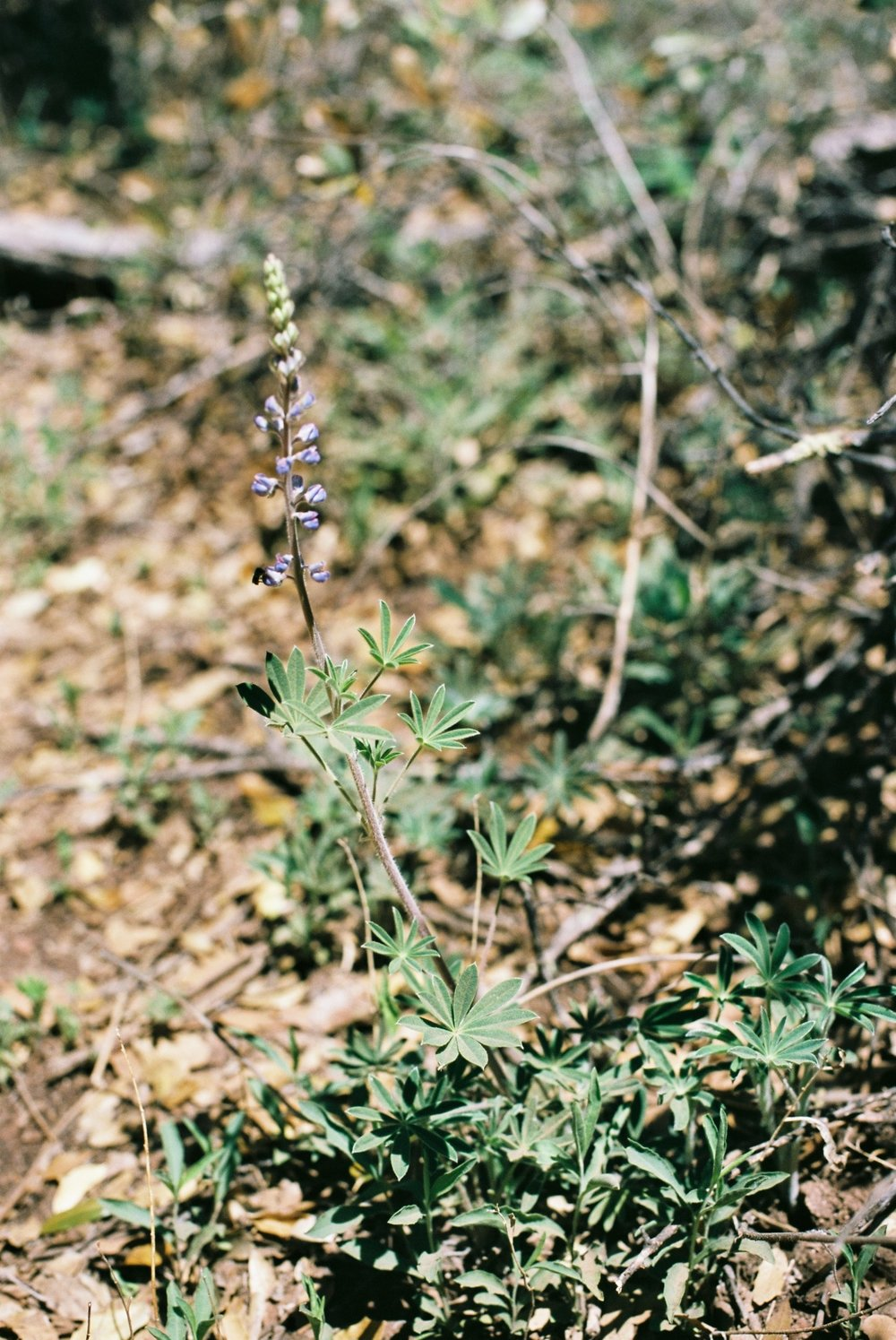 Lupine, Sedona. This wildflower grows readily in Minnesota ditches.