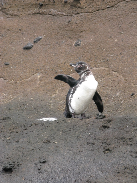A Galapagos penguin waving from the shore. The average Galapagos Penguin is 19 inches and weighs 5.5 lbs