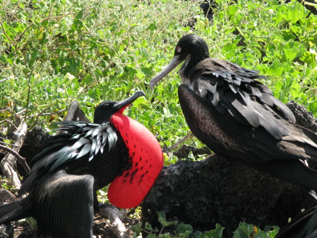 A male red breasted frigate (left) courting a female