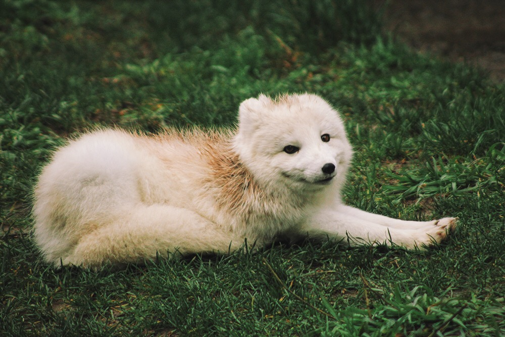 Arctic Fox - Point Defiance Zoo