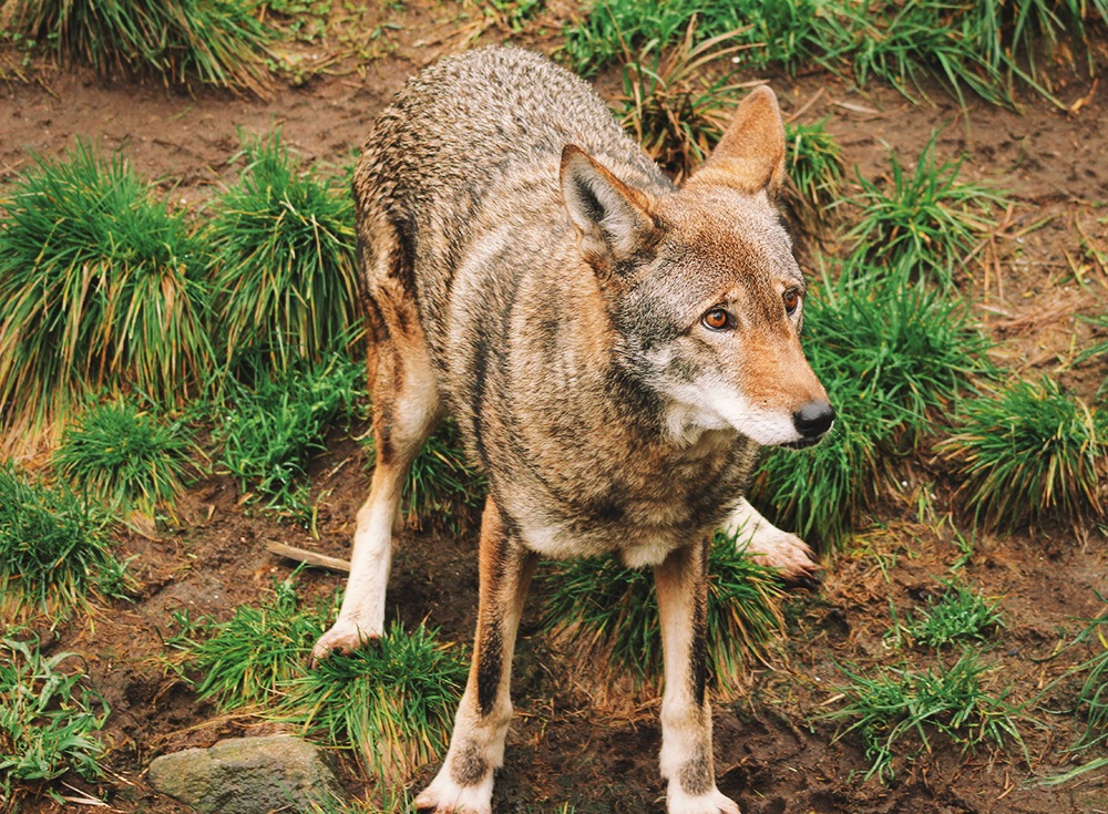 Red Wolf - Point Defiance Zoo