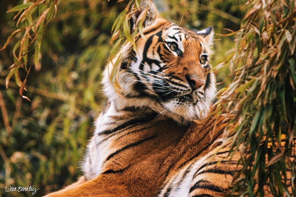 Malayan Tiger - Woodland Park Zoo