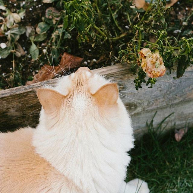 Don't forget to stop and smell the flowers 🌷🍄 This was Milo's first time out in our new yard. #cat #seattle #abirdofpassage