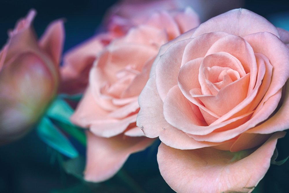 Pink Roses - Want to show gratitude and appreciation? Pink roses not only connote elegance but also gratefulness, and are a great way to say thank you.