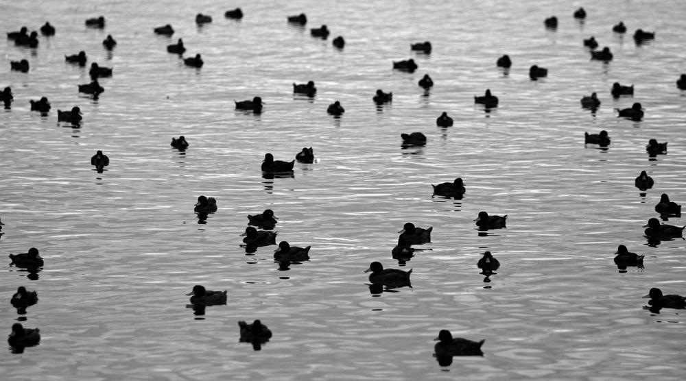 Ducks on Lake Rotorua