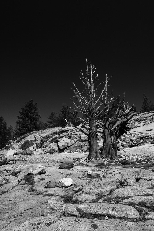 Bristlecone Pine | Reid Burchell Photography