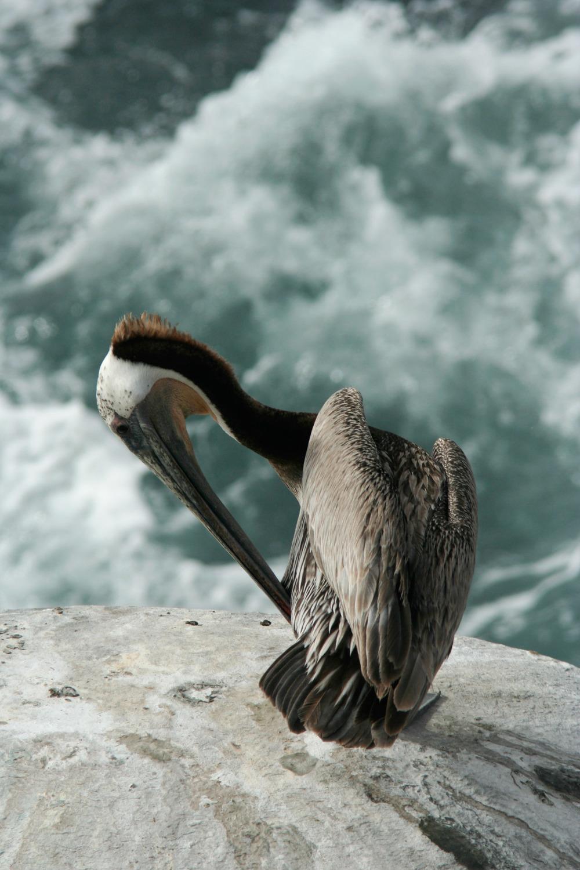 Pelican at La Jolla Beach