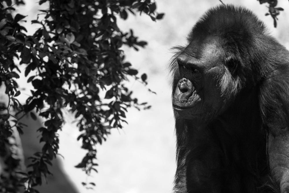 Gorilla | Reid Burchell Photography