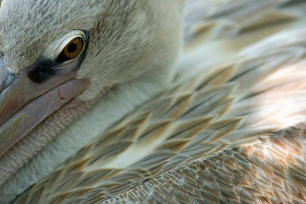 Pelican | Reid Burchell Photography
