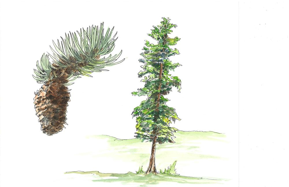 engleman spruce.jpg