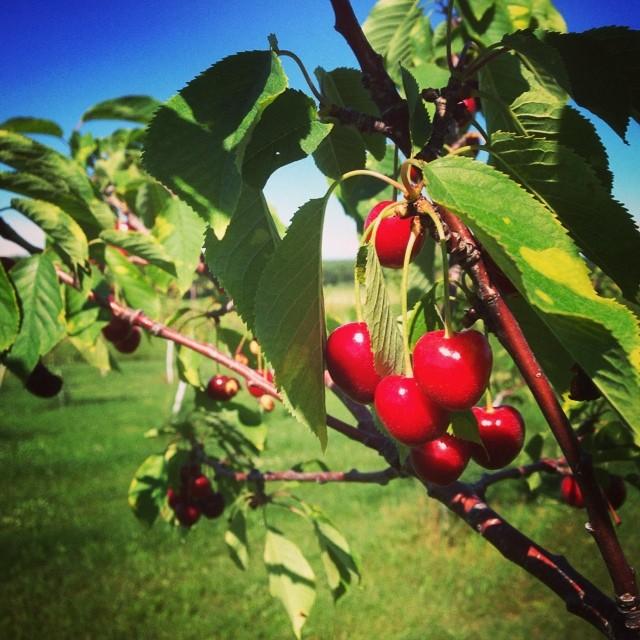 #puremichigan #cherries