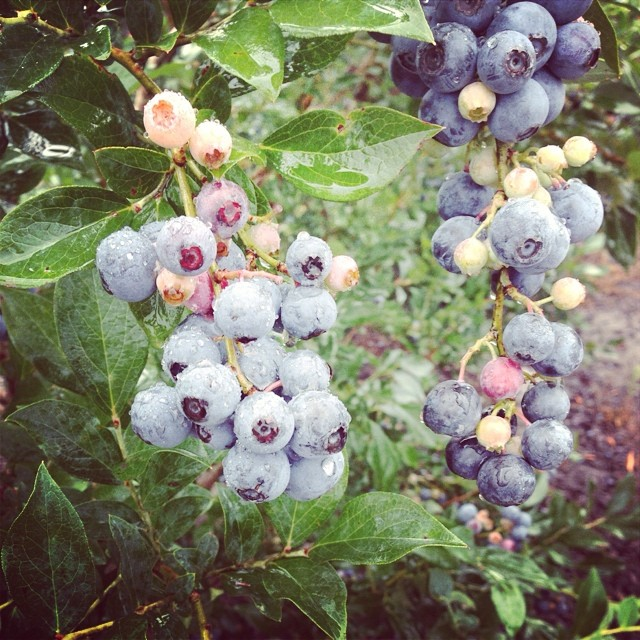 #puregeorgia #blueberries