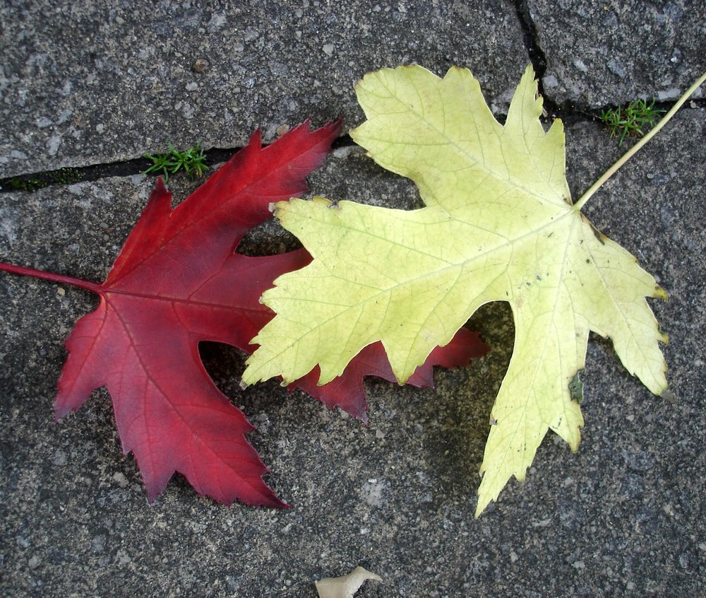Red leaf, yellow leaf – the same but different