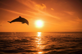 1-bottlenose-dolphin-tursiops-truncatus-jumping-out-of-water-sunset-rene-frederick.jpg