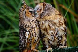THE KISSING OWLS