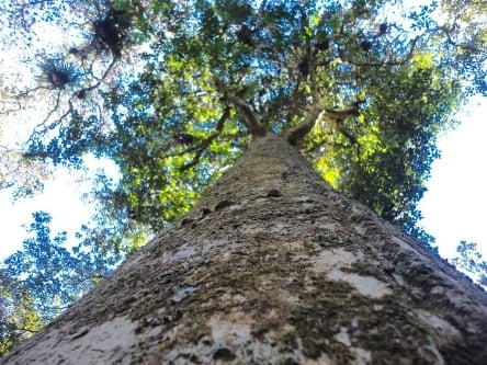 KAURI TREE PHOTO TAKEN BY WISE OWL PAM IN NEW ZEALAND