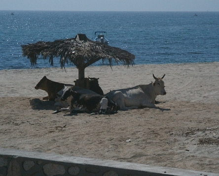 """COWS ON THE BEACH"" TAKEN BY WISE OWL IVY"