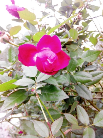 WILD ROSE BUD FROM WISE OWL HOLLY