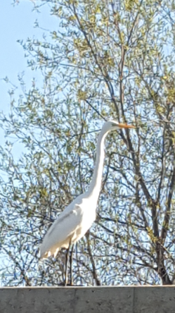 FROM WISE OWL JENNIFER.  A LARGE WHITE EGRET.