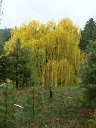 WEEPING WILLOW TREE. FROM WISE OWL LISA