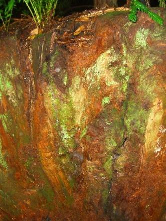 """""""VIRGIN REDWOOD TREE STUMP"""" TAKEN BY WISE OWL JACKIE"""