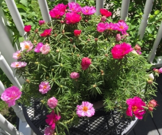 """MOSS ROSE"" TAKEN BY WISE OWN HELEN"