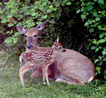 """MOTHER AND FAWN"" TAKEN BY WISE OWLS C & T IN NEW JERSEY"