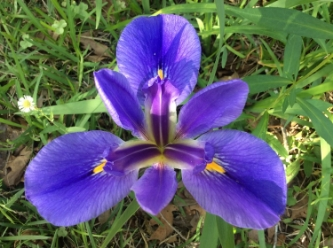 """""""MISSISSIPPI WILD IRIS"""" FROM WISE OWL TRACY"""
