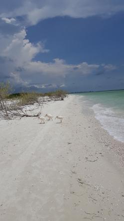 """WHITE IBIS BEFORE SUMMER STORM"" HONEYMOON ISLAND, FLORIDA FROM WISE OWL BRENDA"