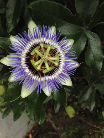 """PASSION FLOWER"" TAKEN BY WISE OWL BJ"