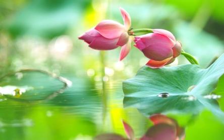 Beautiful-lotus-flowers-in-water-nice-images.jpg
