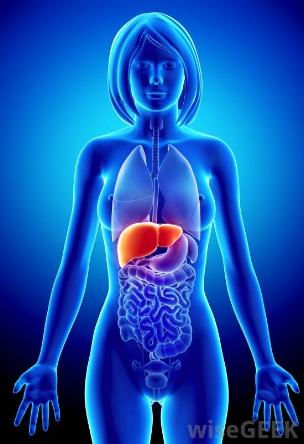 liver-highlighted-on-female-model.jpg
