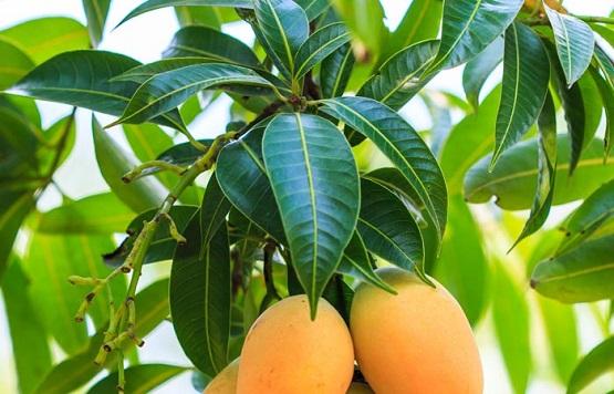 mango-leaves.jpg