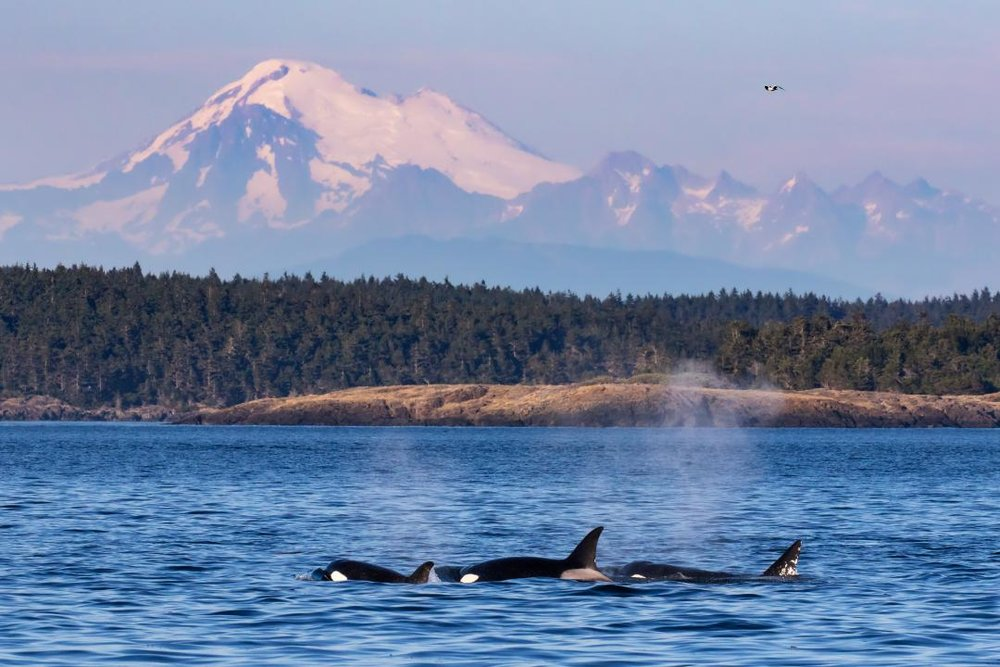 Orcas, Puget Sound and Mt. Baker