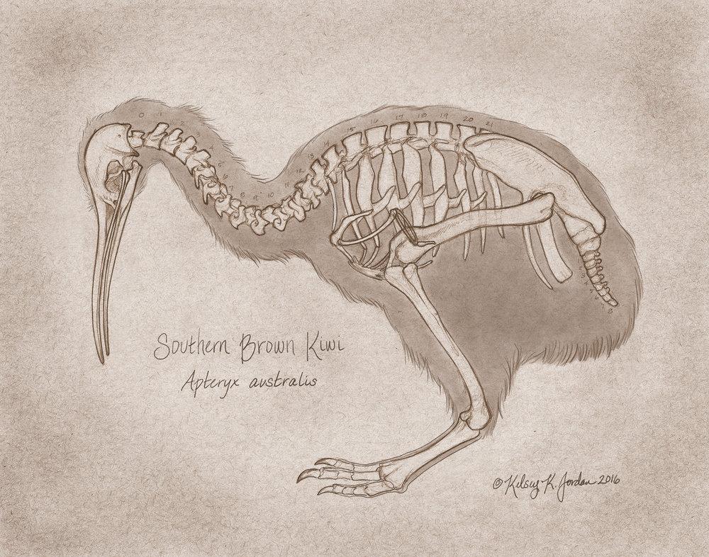 Apteryx australis