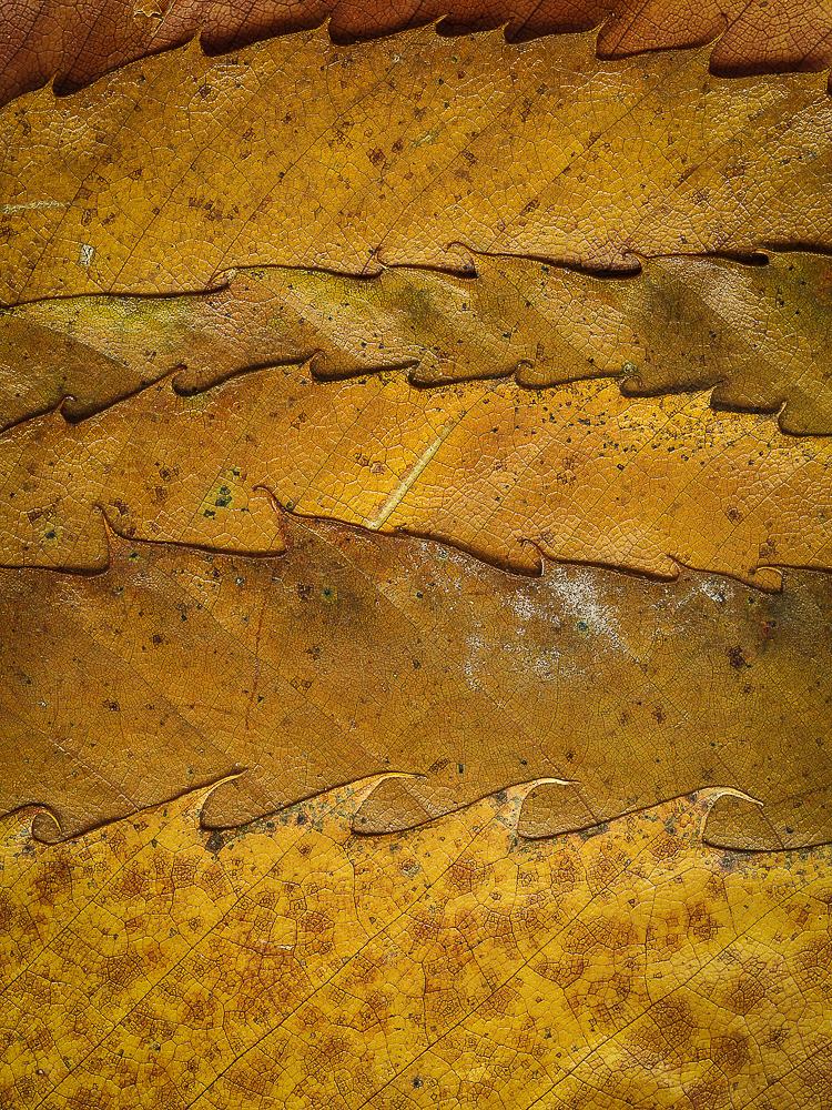 sweet-chestnut-leaves-(1-of-1).jpg