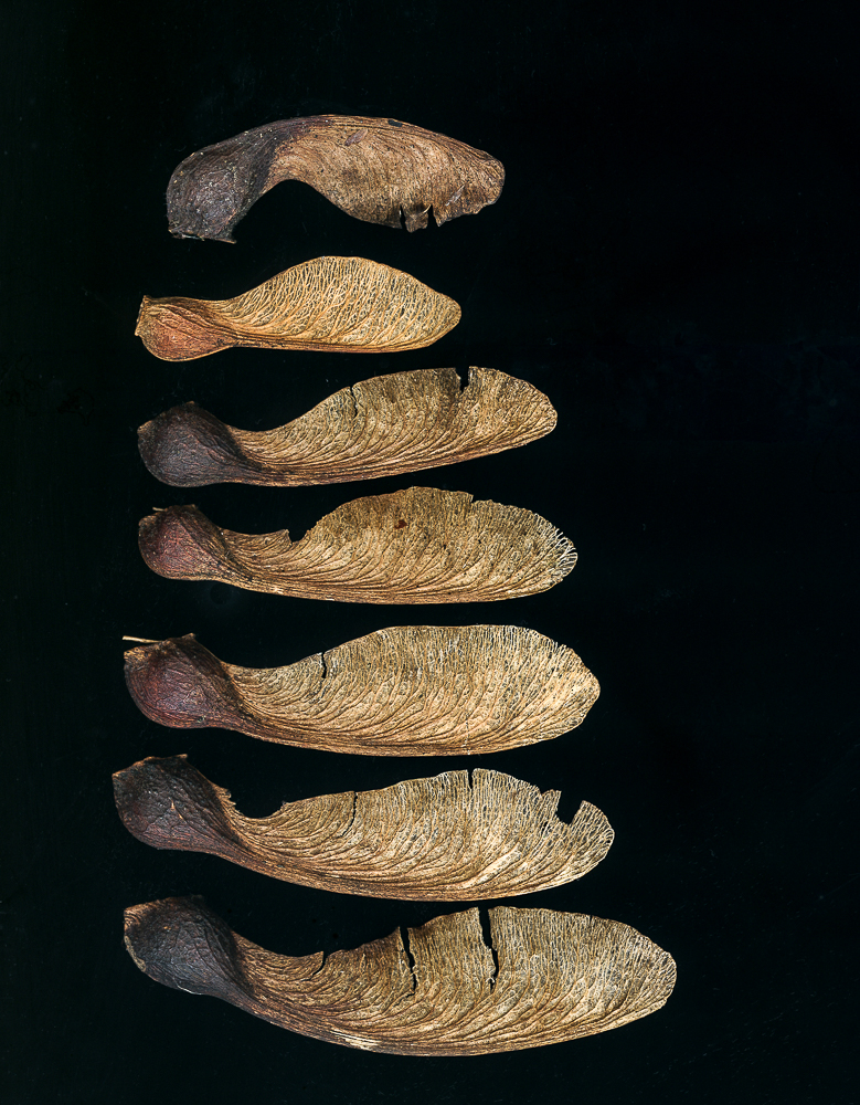 sycamore-seeds-(1-of-1).jpg