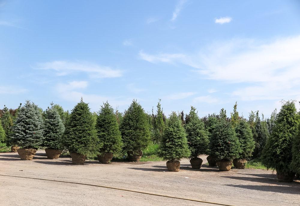 evergreen trees spruce fir pine hemlock juniper cedar