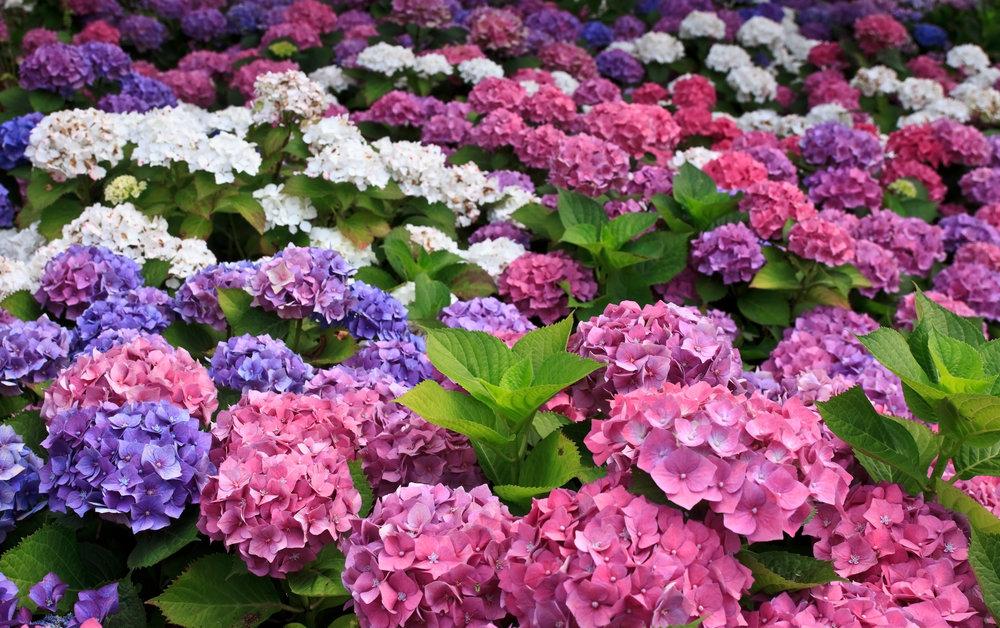 planting hydrangea design color flowers