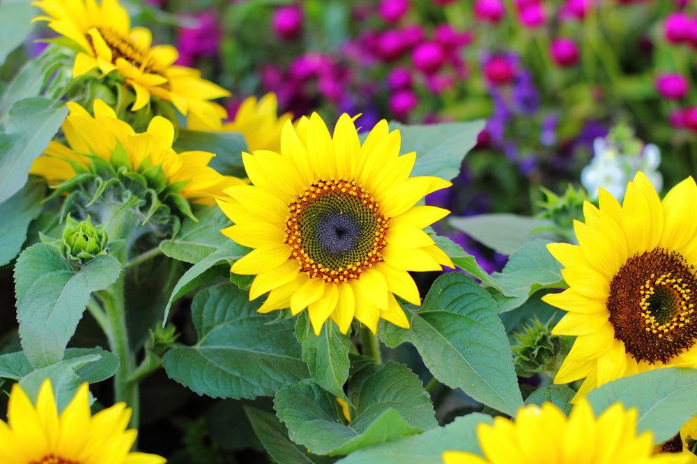 planting color sunflower perennials