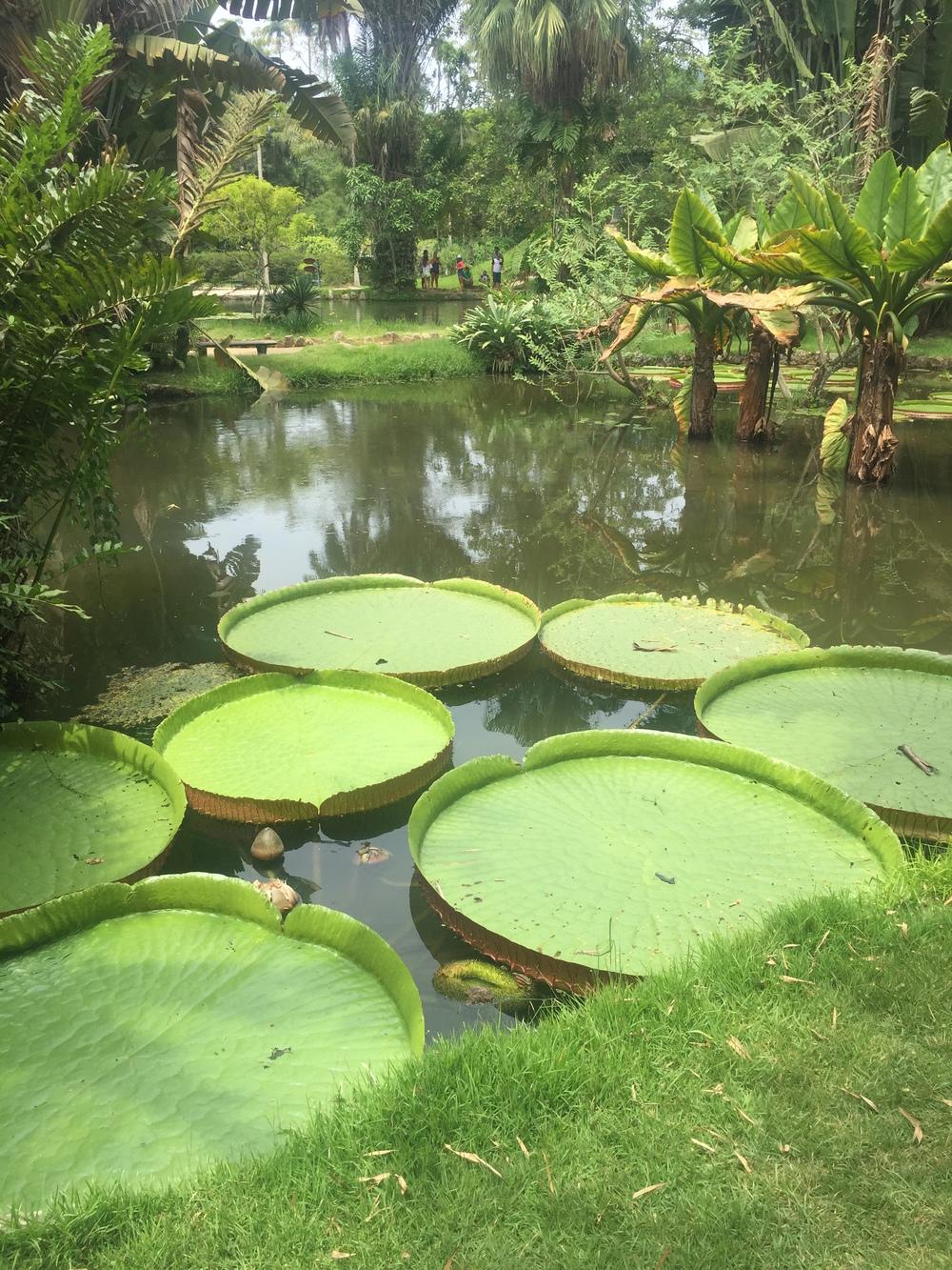 Huge lillipads at the Rio De Janeiro Botanical Garden