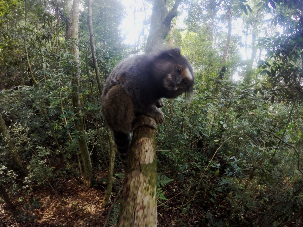 Wild monkey on our hike to Christ the Redeemer in Rio De Janeiro Brazil - Rio Travel Guide