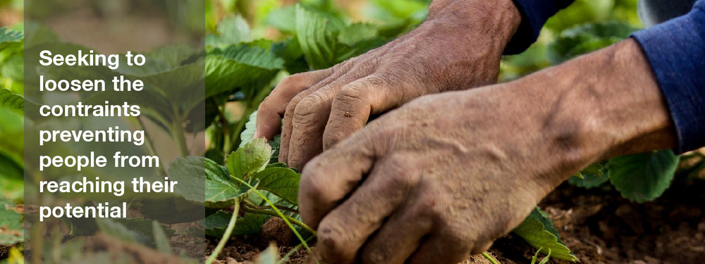 A man works in his strawberry field in Paraguay.