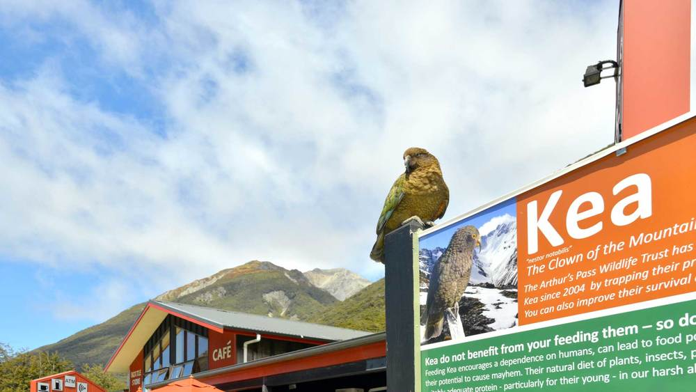 The Kea are our cheeky, indigenous mountain parrots