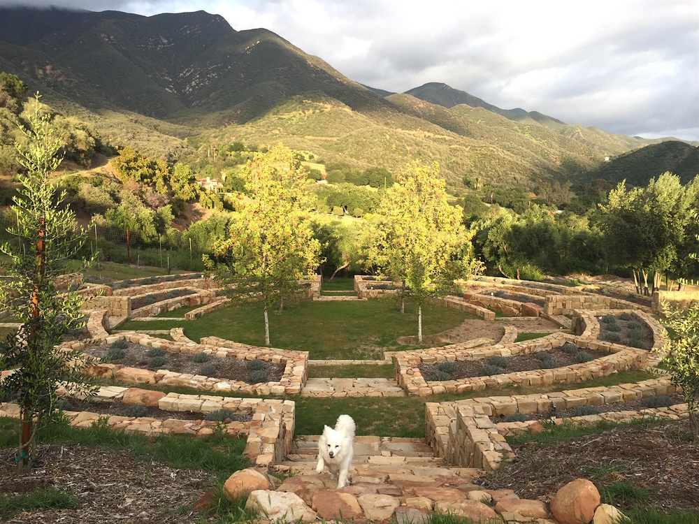 Ojai Dirt Candy's  Grosso lavender mandala garden surrounded by olives trees, sycamores, the Los Padres forest and Romeo.