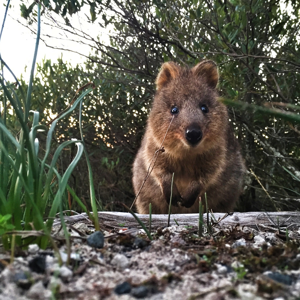 The famous Quokkas