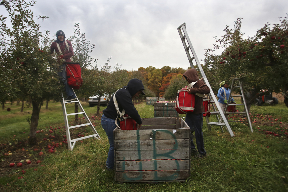 The Jurado family works seven days a week during apple harvesting season picking apples at Uncle John's Cider Mill. The children, as young as 13 years old, pick apples every day after school until dark, while the parents pick all day.
