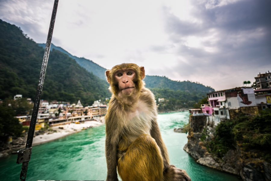 The rhesus macaque (Macaca mulatta) is a prevalent species of old world monkey native to a great variety of habitats in to South, Central, and Southeast Asia.