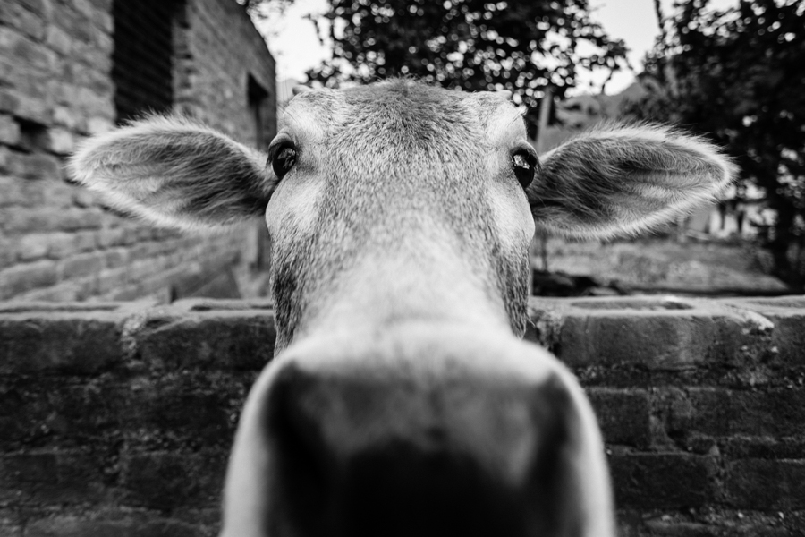 A cow in Rishikesh's Tapovan neighborhood. While many of the cows wondered freely in the streets, this one was domesticated and kept in a cow shed within the residential neighborhood. Some believe that cow urine has medicinal properties and can cure afflictions ranging from cancer to baldness.