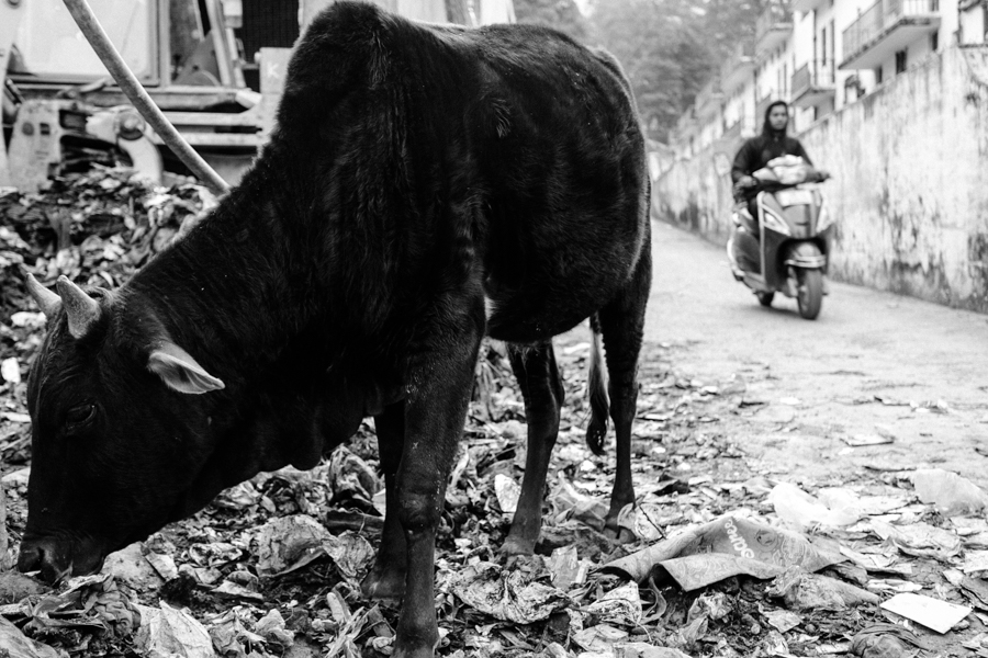 Cow feeding at an official dump overspilling into the street.
